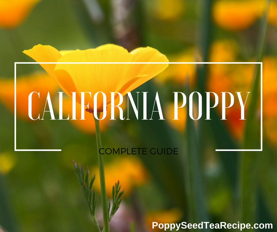 California poppy eschscholzia californica a detailed guide mightylinksfo
