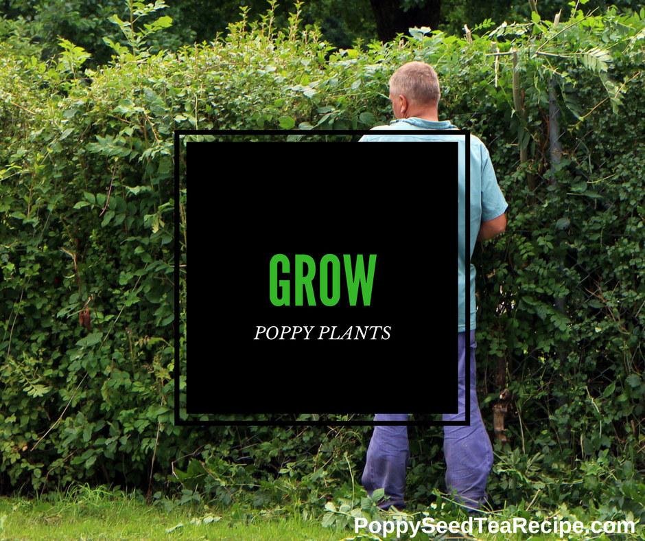 grow poppy plants