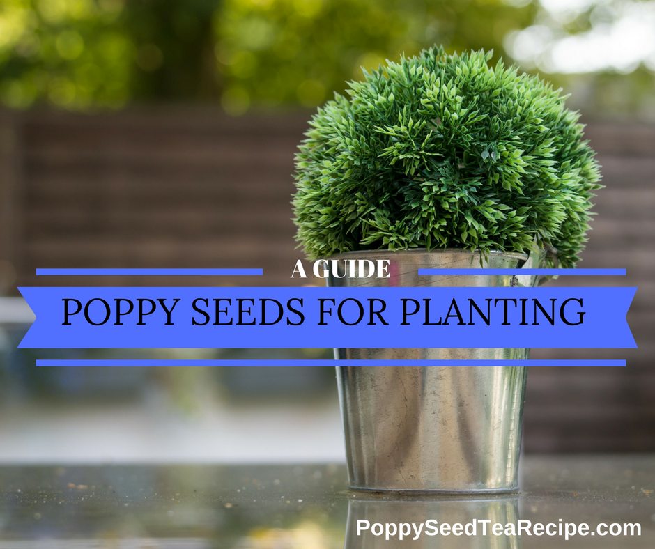 poppy seeds for planting